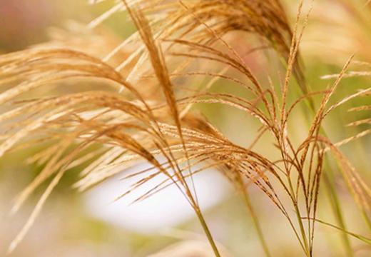 似 植物 た に ススキ
